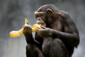chimp2-300x199